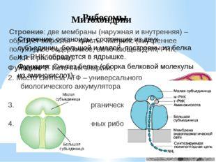 Клеточный центр Строение: состоит из двух центриолей, расположенных перпендик