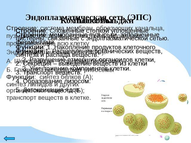 Митохондрии Строение: две мембраны (наружная и внутренняя) – образует выросты...