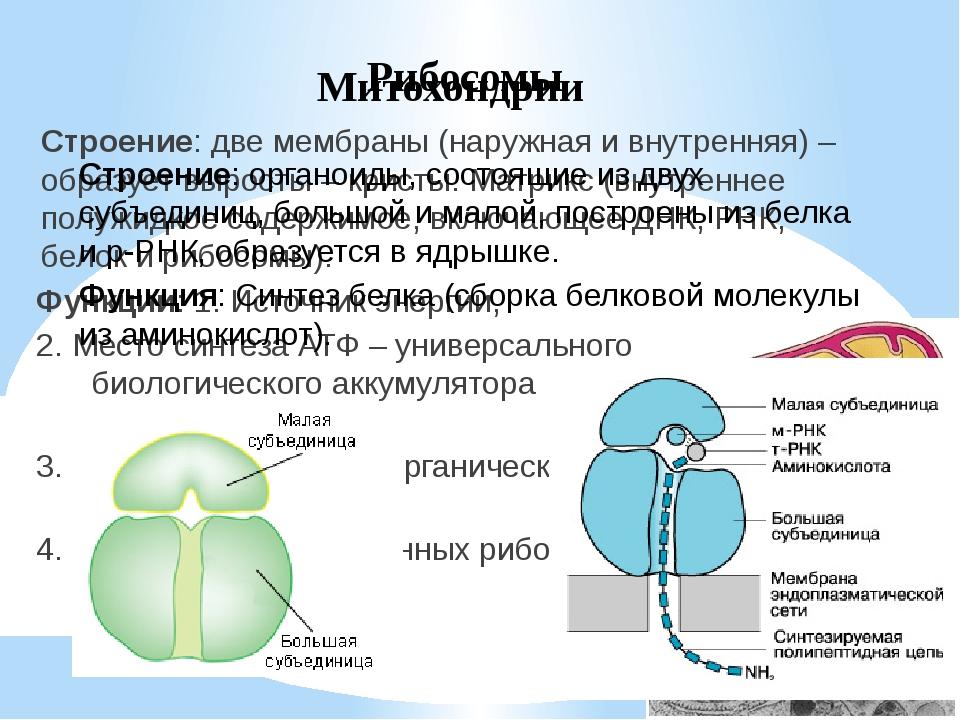 Клеточный центр Строение: состоит из двух центриолей, расположенных перпендик...