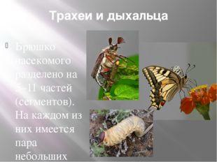 Трахеи и дыхальца Брюшко насекомого разделено на 5–11 частей (сегментов). На