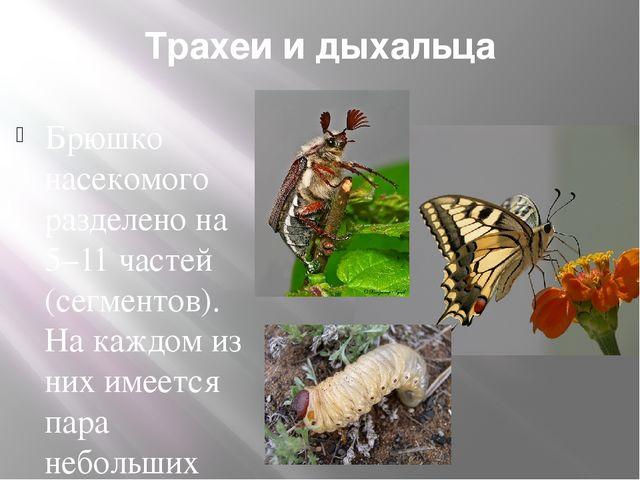 Трахеи и дыхальца Брюшко насекомого разделено на 5–11 частей (сегментов). На...