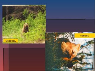 медведь соболь