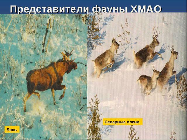 Представители фауны ХМАО Лось Северные олени