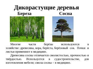 Дикорастущие деревья Береза Сосна Многие части берёзы используются в хозяйст
