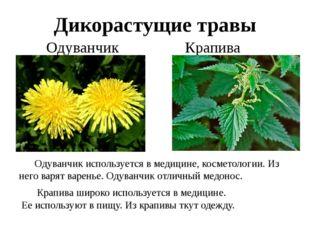 Дикорастущие травы Одуванчик Крапива Одуванчик используется в медицине, косм