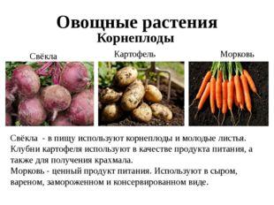 Овощные растения Корнеплоды Свёкла Картофель Морковь Свёкла - в пищу использу