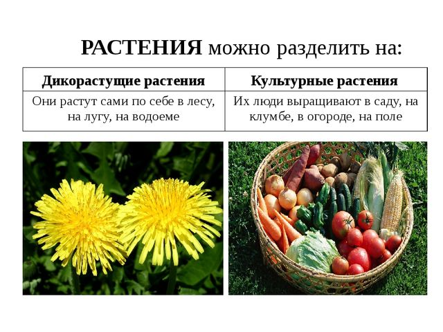 Дикорастущие растения Культурные растения РАСТЕНИЯ можно разделить на: Они ра...