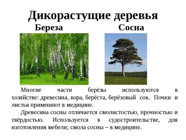 Дикорастущие деревья Береза Сосна Многие части берёзы используются в хозяйст...
