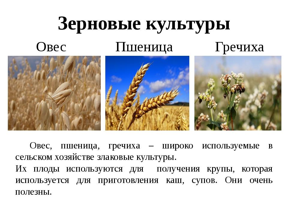 Зерновые культуры Овес Пшеница Гречиха Овес, пшеница, гречиха – широко испол...
