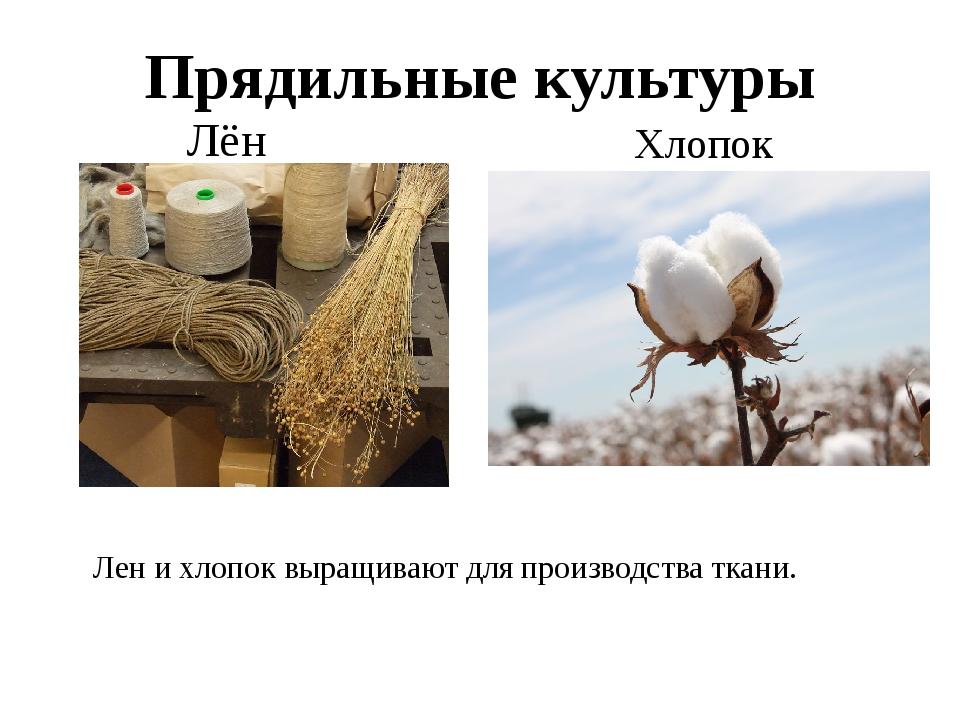 Прядильные культуры Лён Хлопок Лен и хлопок выращивают для производства ткани.