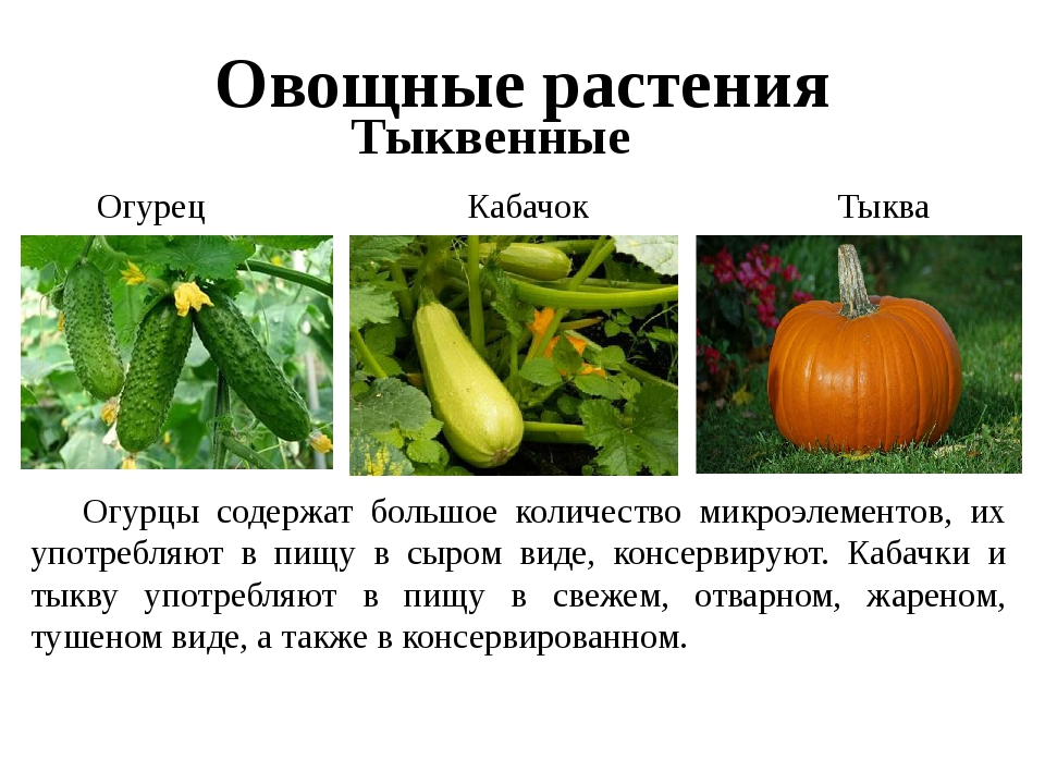 Овощные растения Тыквенные Огурец Тыква Кабачок Огурцы содержат большое коли...