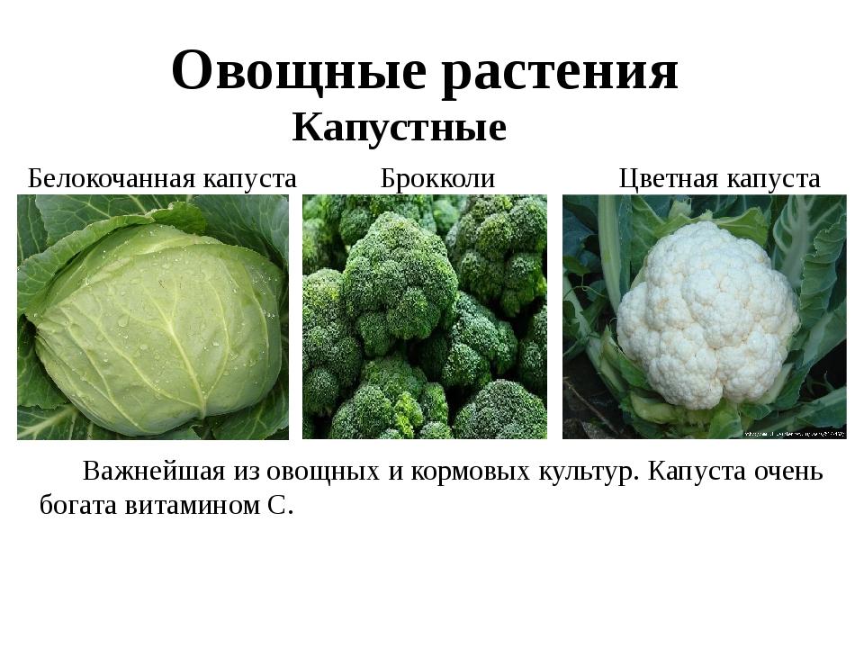 Овощные растения Капустные Белокочанная капуста Брокколи Цветная капуста Важ...
