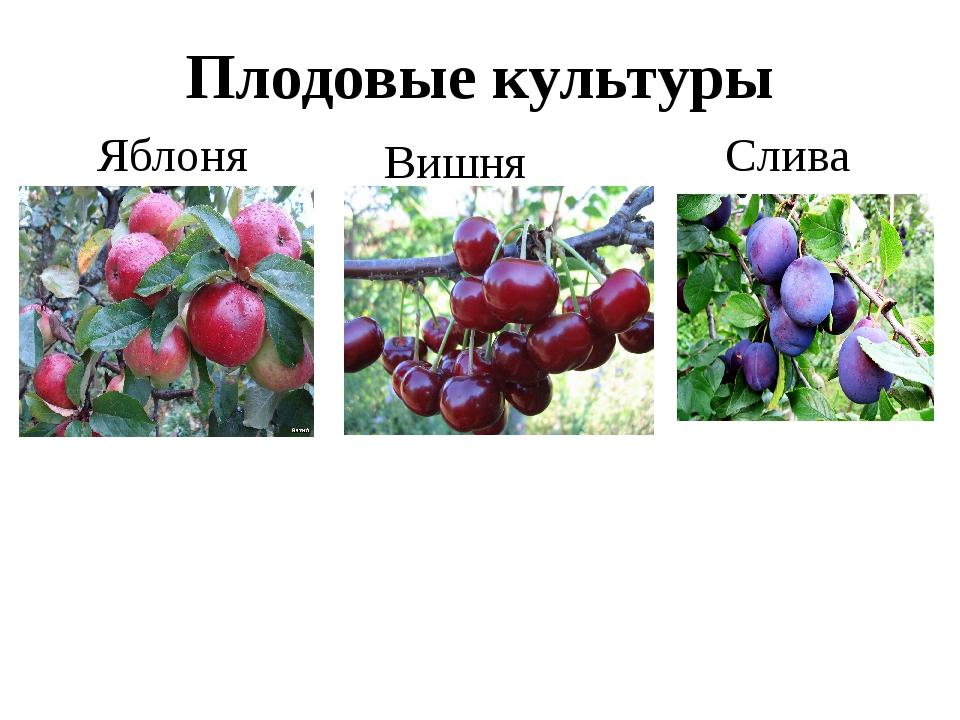 Плодовые культуры Яблоня Вишня Слива