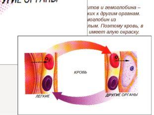 Главная функция эритроцитов и гемоглобина – перенос кислорода от легких к дру