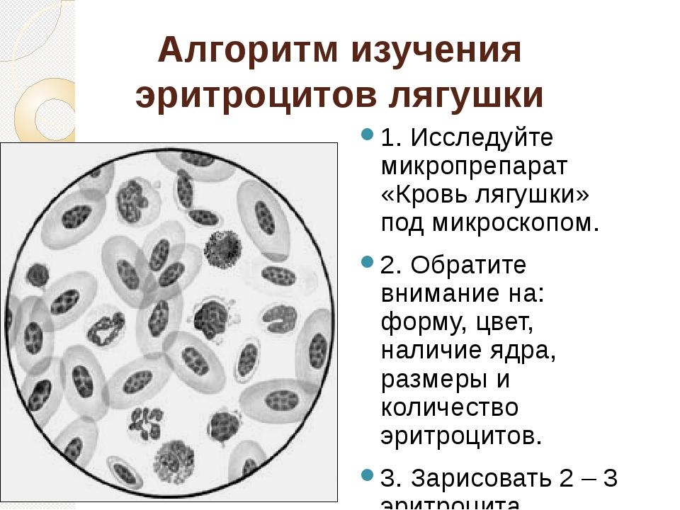 Алгоритм изучения эритроцитов лягушки 1. Исследуйте микропрепарат «Кровь лягу...