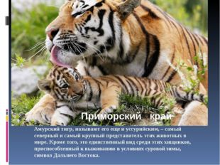Амурский тигр, называют его еще и уссурийским, – самый северный и самый крупн