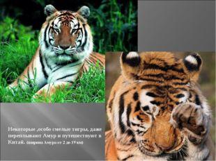 Некоторые ,особо смелые тигры, даже переплывают Амур и путешествуют в Китай.