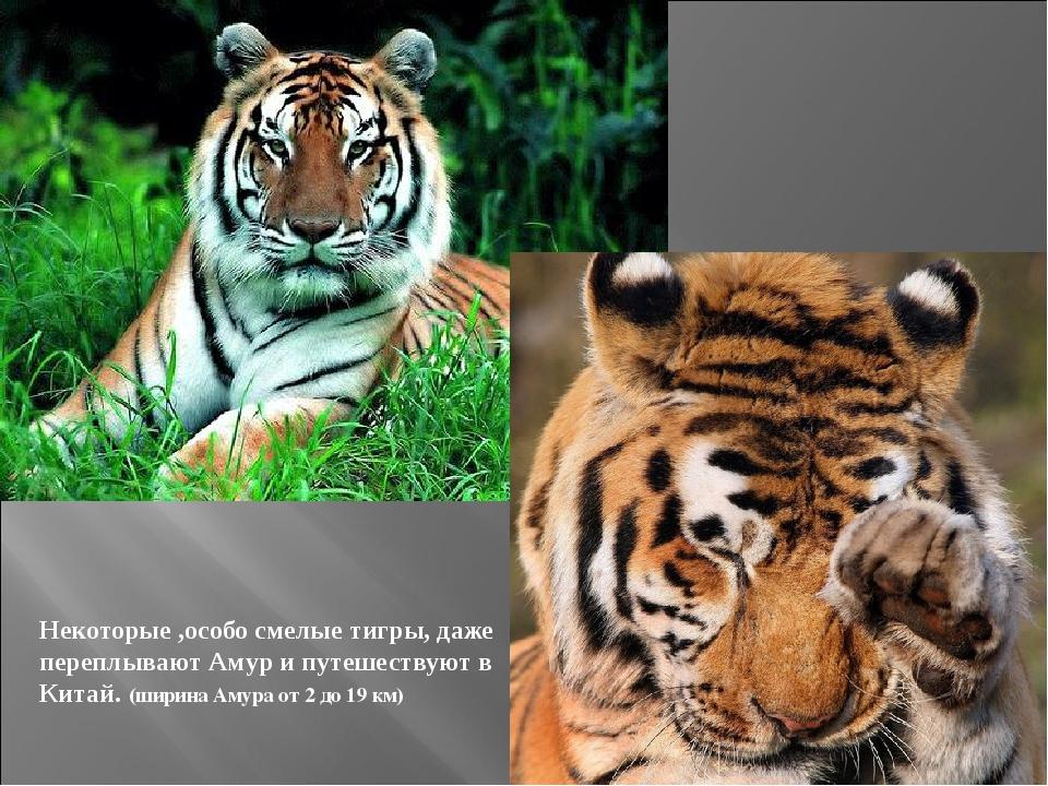 Некоторые ,особо смелые тигры, даже переплывают Амур и путешествуют в Китай....
