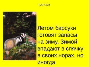 БАРСУК Летом барсуки готовят запасы на зиму. Зимой впадают в спячку в своих н
