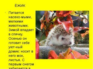 ЁЖИК Питается насеко-мыми, мелкими животными. Зимой впадает в спячку. Осенью