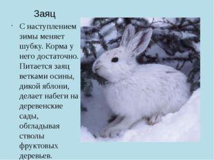 Заяц С наступлением зимы меняет шубку. Корма у него достаточно. Питается заяц