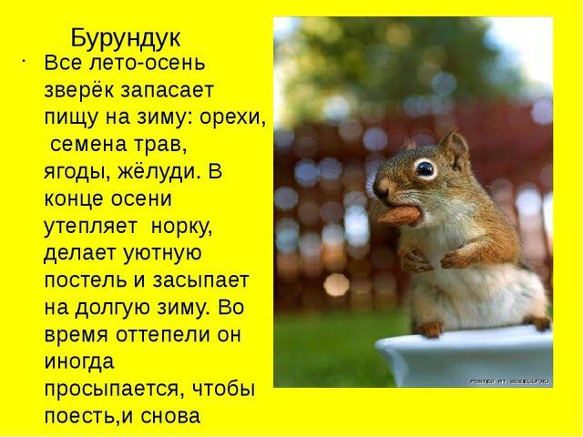 Бурундук Все лето-осень зверёк запасает пищу на зиму: орехи, семена трав, яго...