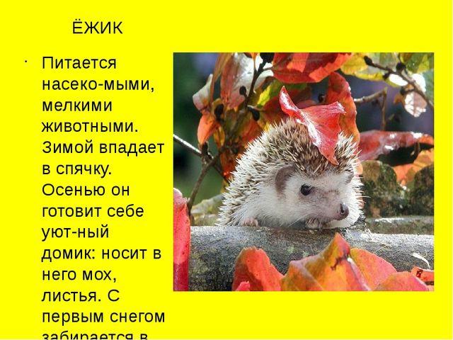 ЁЖИК Питается насеко-мыми, мелкими животными. Зимой впадает в спячку. Осенью...