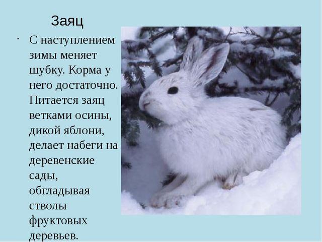 Заяц С наступлением зимы меняет шубку. Корма у него достаточно. Питается заяц...