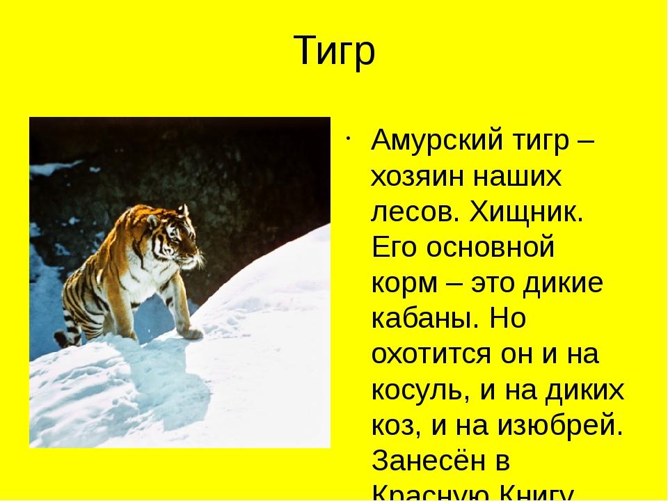 Тигр Амурский тигр – хозяин наших лесов. Хищник. Его основной корм – это дики...