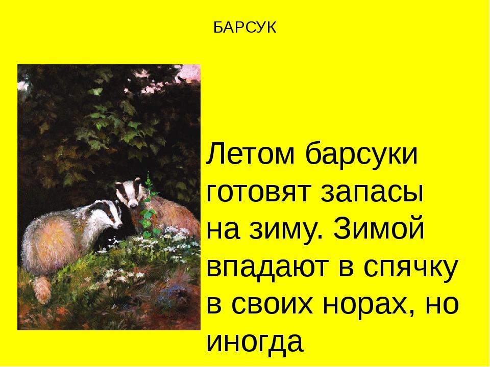 БАРСУК Летом барсуки готовят запасы на зиму. Зимой впадают в спячку в своих н...