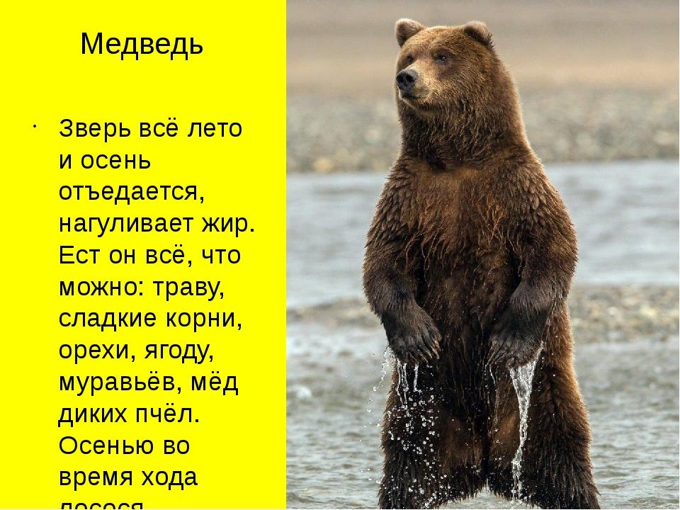 Медведь Зверь всё лето и осень отъедается, нагуливает жир. Ест он всё, что мо...