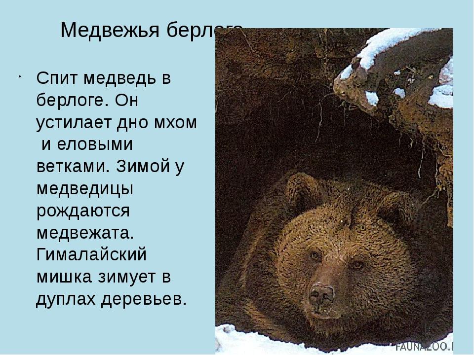 Медвежья берлога Спит медведь в берлоге. Он устилает дно мхом и еловыми ветка...