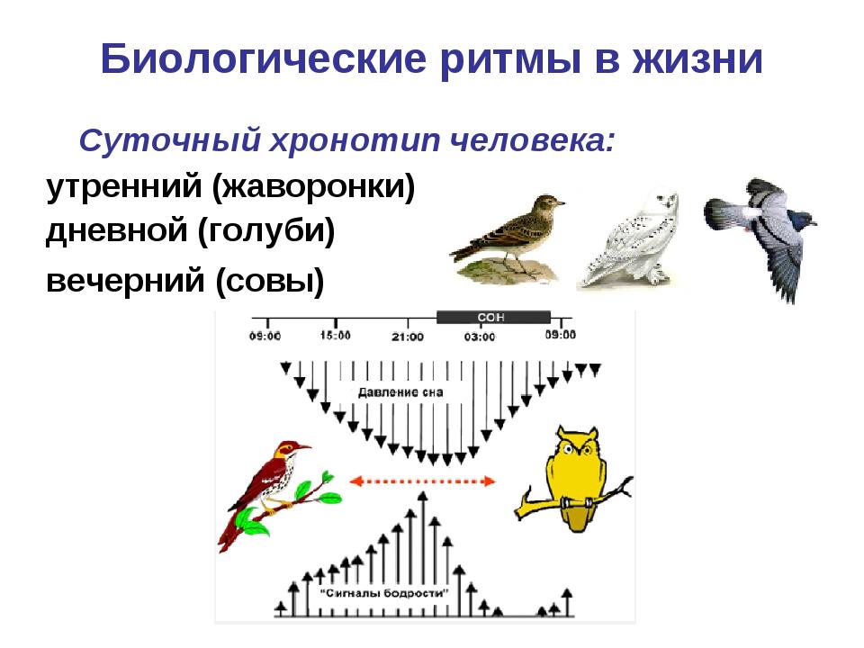 Биологические ритмы в жизни Суточный хронотипчеловека: утренний (жаворонки)...