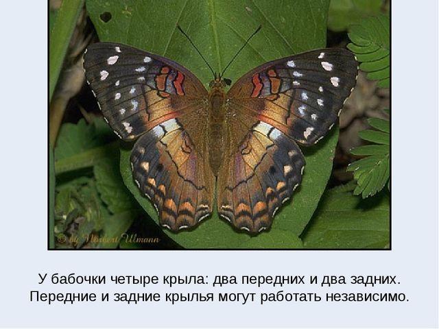 У бабочки четыре крыла: два передних и два задних. Передние и задние крылья м...