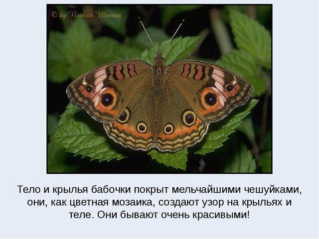 Тело и крылья бабочки покрыт мельчайшими чешуйками, они, как цветная мозаика,...