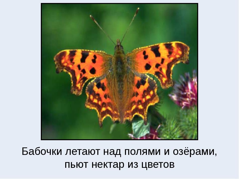 Бабочки летают над полями и озёрами, пьют нектар из цветов