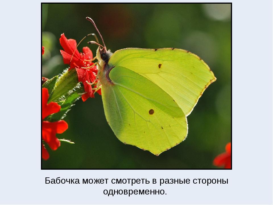 Бабочка может смотреть в разные стороны одновременно.