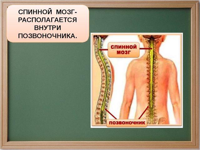СПИННОЙ МОЗГ- РАСПОЛАГАЕТСЯ ВНУТРИ ПОЗВОНОЧНИКА.