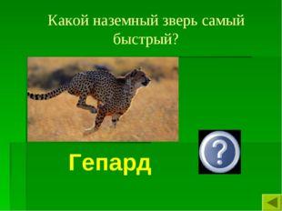 Какой наземный зверь самый быстрый? Гепард