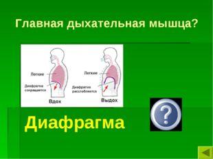 Главная дыхательная мышца? Диафрагма