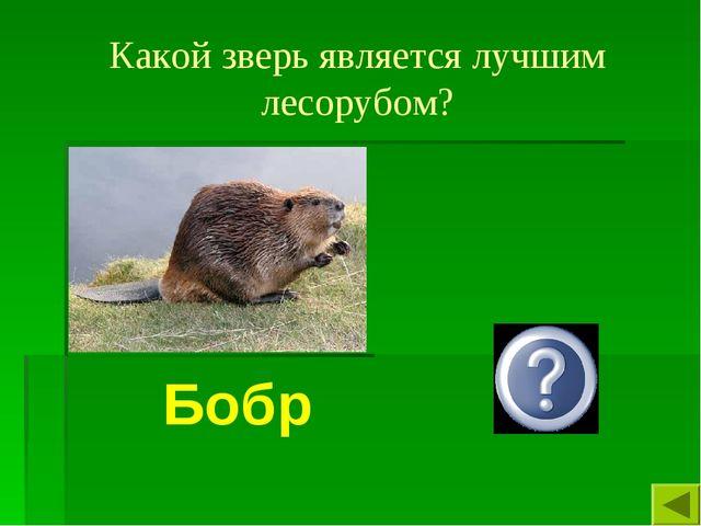 Какой зверь является лучшим лесорубом? Бобр