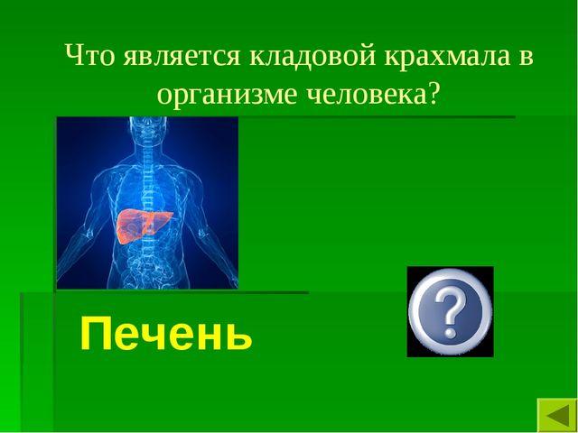 Что является кладовой крахмала в организме человека? Печень