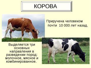 КОРОВА Выделяется три основных направления в разведении пород: молочное, мяс