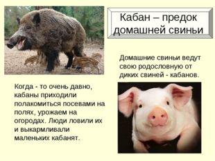 Кабан – предок домашней свиньи Когда - то очень давно, кабаны приходили пола