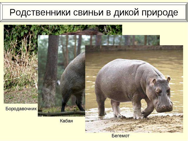 Родственники свиньи в дикой природе Бородавочник Кабан Бегемот