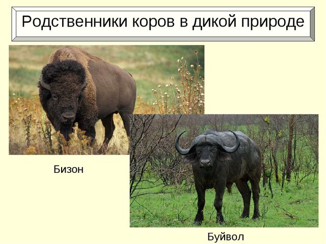 Родственники коров в дикой природе Бизон Буйвол