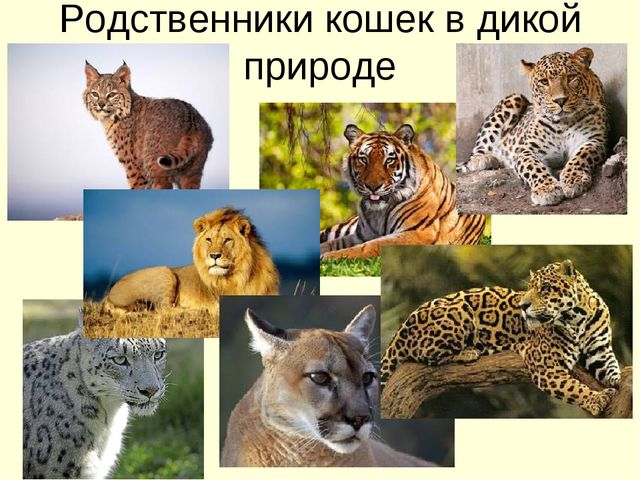Родственники кошек в дикой природе