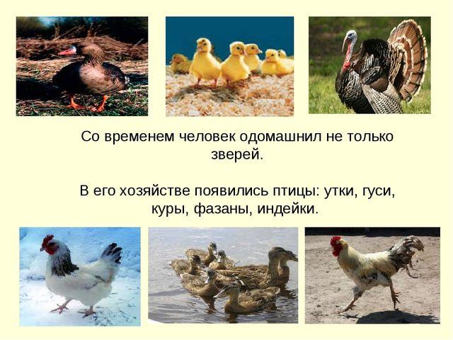 Со временем человек одомашнил не только зверей. В его хозяйстве появились пти...
