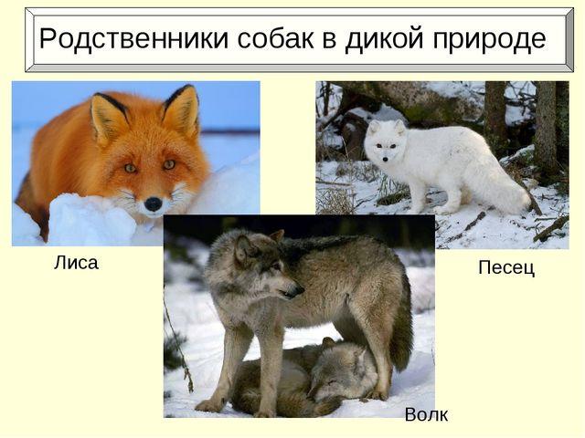 Родственники собак в дикой природе Лиса Песец Волк