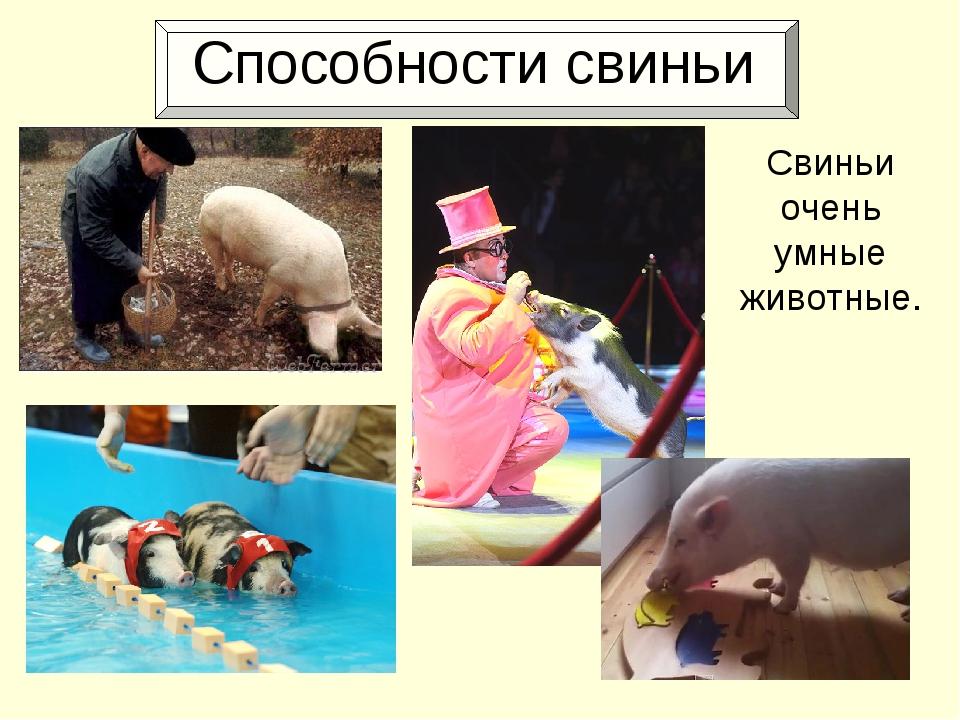 Способности свиньи Свиньи очень умные животные.